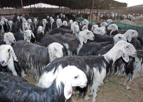 saudi sheep
